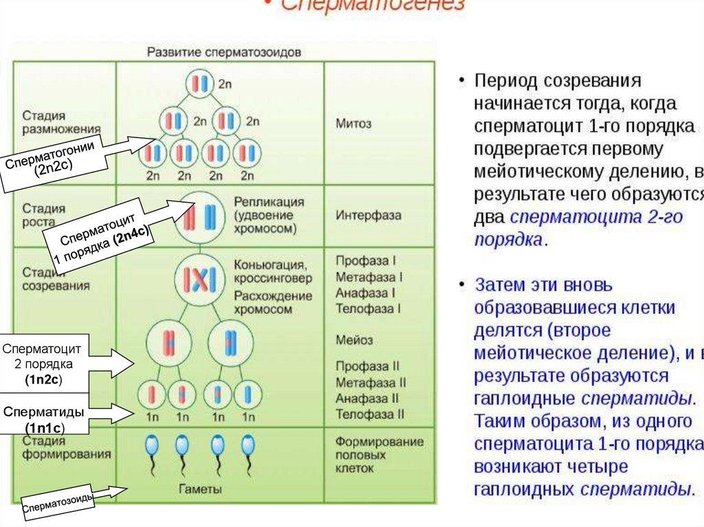клетка эндосперма семени лука набор
